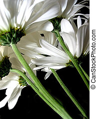 White daisy on black background