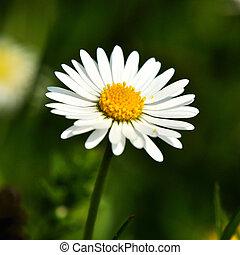 Daisy - White Daisy