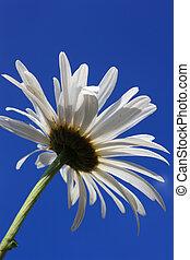 White Daisy, Summer Sky