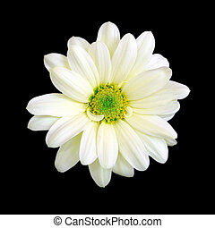 White chrysanthemum daisy flower isolated on a black background.