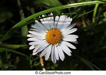 white daisy with large petals in green grass