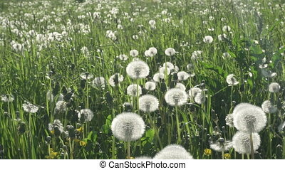 white dandelion field in summer sunny day against the background of the sky with white clouds walk from gimbal stabilizer