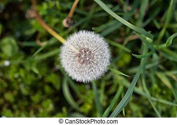 White dandelion in the grass