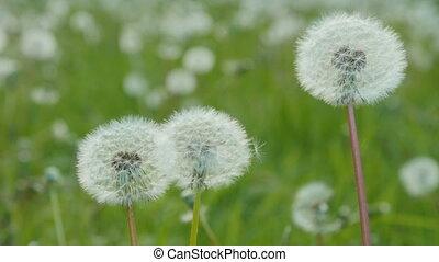 White dandelion in the green meadow.