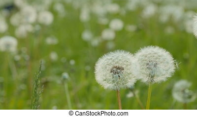 White dandelion in the meadow. Dolly pan