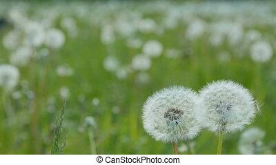 White dandelion in the meadow