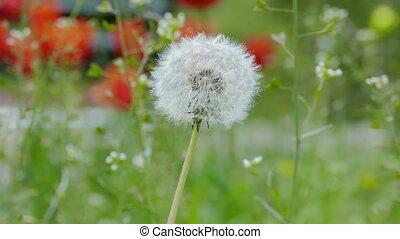 White dandelion on a green background video 4k