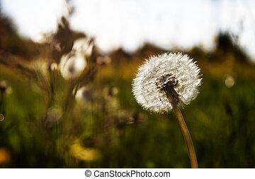 white dandelion on a meadow in the sun