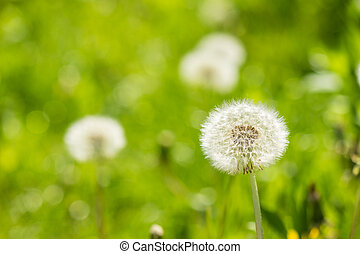 white dandelion on green grass blur background - white...