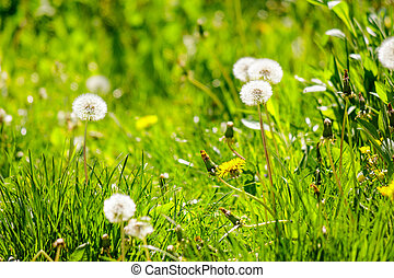 white dandelion on green grass blurry background in park