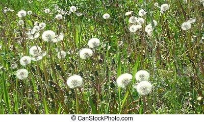 White dandelion on green - White dandelion head blowball...
