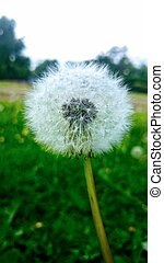 White dandelion on the field of green grass