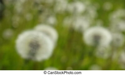 White dandelions are sharp