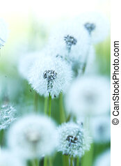 White dandelions - Beautiful white dandelion flowers...