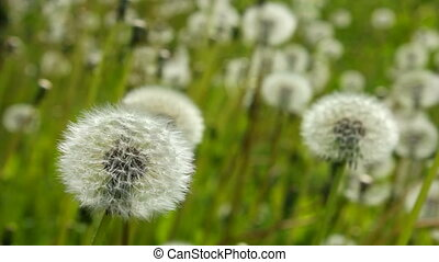 White dandelions become blurred