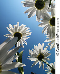 White daysies over blue sky