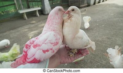 White decorative pigeons with colorful feathers fighting for...