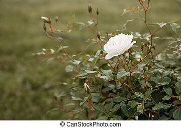 white delicate rose closeup. selective focus with shallow depth of field
