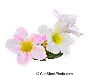 White Desert Flower on white background