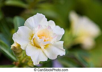 White Desert Rose or Impala Lily tropical flower. - White ...