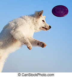 white dog - Berger Blanc Suisse Shepherd dog