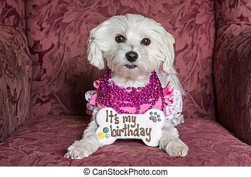 White dog birthday