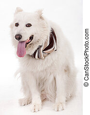 White dog facing the camera with muffler scarf on the ne