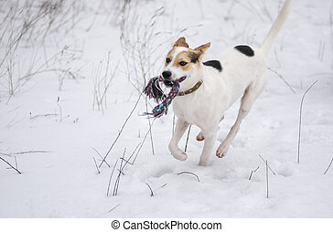White dog galloping in snow with rope while playing in winter field