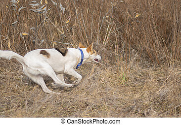 White dog galloping in wild grass while hunting outdoors