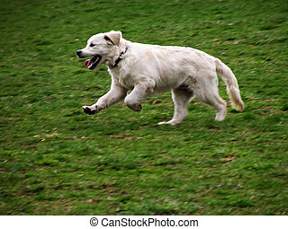 White dog in motion on green meadow