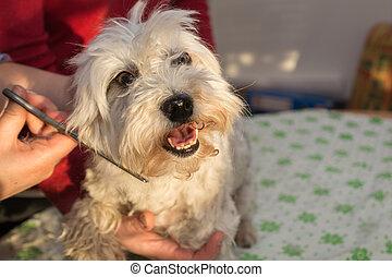 white dog in Pet Grooming - Havaneser wird das Fell von...