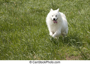 White Dog in the Field