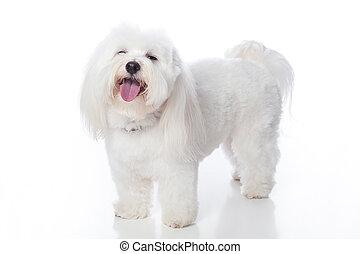 White Dog Laughing - A full length shot of a white Coton de...