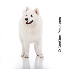 white dog, looking to the side - a studio image of a pure...