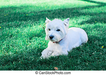 White dog lying on the grass.