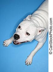 White dog on blue background.