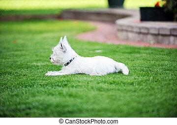 white dog - small white dog lies on  green lawn