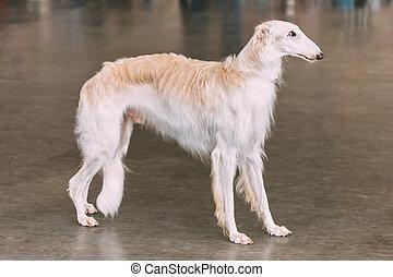 White Dog Russian Borzoi Wolfhound On Floor