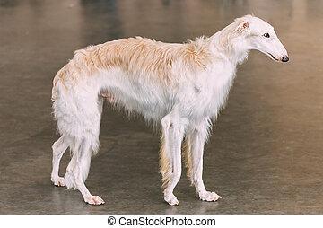 White Dog Russian Borzoi Wolfhound