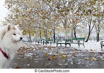 White dog, samoyede in a park
