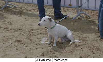 White dog sitting on the sand.