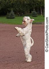 White dog staying - White dog in parck on back legs