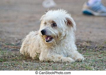 white dog - Single white dog on grass field.