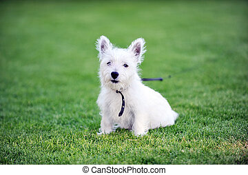 white dog - small white dog plays  on green lawn