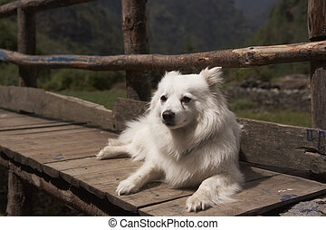 White Dog - White dog lying on a wooden bench in the...