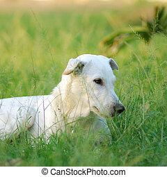 white dog - One white dog on grass field.