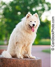 White dog - Samoyed dog