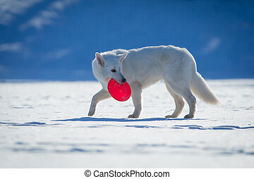 White dog walking on snow. - White dog walking on snow with...