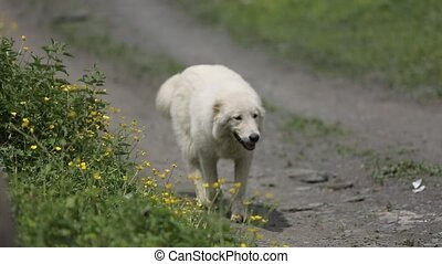 White dog walking on the road near flowers in mountains -...