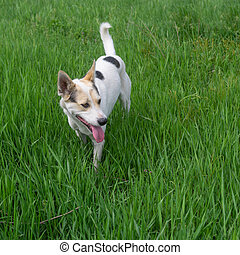 White dog watching for fun while standing in high spring grass grass